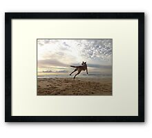 Maliniois jumping for joy! Framed Print