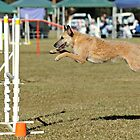 Belgian Laekenois leaping to the lead. by Belgian Shepherd Dog Club of QLD Inc