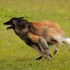 Tervueren at lure coursing.  Run Belgian Run! by Belgian Shepherd Dog Club of QLD Inc