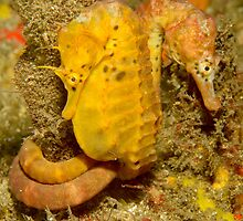 Seahorses of Kurnell by Andrew Trevor-Jones