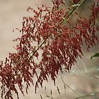 Delicate and blazing red - Grampian Mountains, Victoria Australia by indiafrank