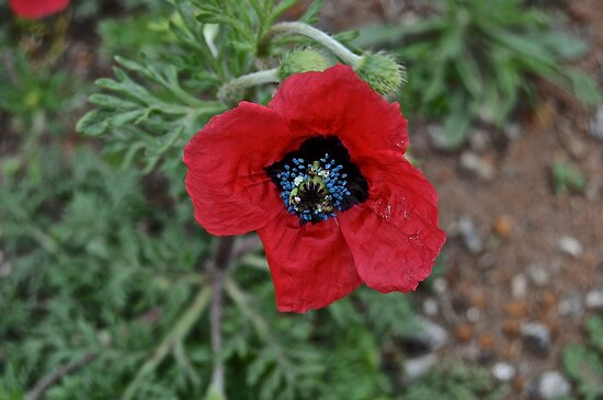 Blue Centred Poppy by Ian Berry