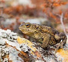 Common Toad by David Barnes