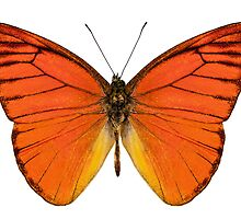 "Orange butterfly species appias nero neronis ""Orange Albatross"" by Pablo Romero"
