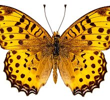"Butterfly species Argynnis hyperbius ""Indian Fritillary"" by Pablo Romero"