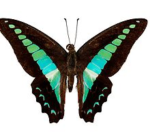 Butterfly species Graphium sarpedon by paulrommer