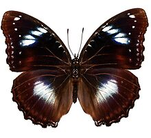 "Butterfly species Hypolimnas bolina ""Great Eggfly"" by paulrommer"