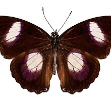 "Butterfly species Hypolimnas misippus male ""Danaid Eggfly"" by Pablo Romero"