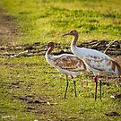 DAR Whooping Cranes by Thomas Young