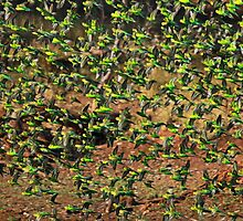 Budgie Flock 2 by Nick Delany