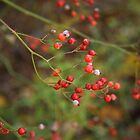Dogwood Berries by Linda  Makiej