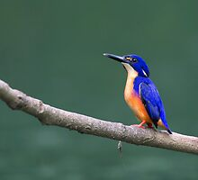 Azure Kingfisher - Eungella, Queensland by Rob Drummond