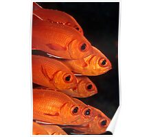white-edged soldierfish Poster