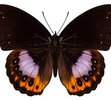 Butterfly species hypolimnas pandarus by Pablo Romero