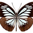 Butterfly species pareronia boebera boebera by paulrommer