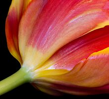 Tulip. Tulipa. by cloud7