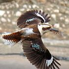 Kookaburra in Flight by Cindy Hitch