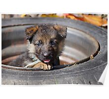 Puppy in Tire Poster