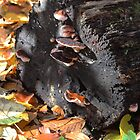 Bracket fungi at Hueston Woods, Ohio by Alice Kahn