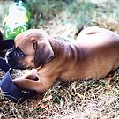 Boxer Puppy Laying in Dry Grass by SpiceTree