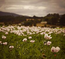 Opium Poppies by KirstyStewart