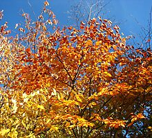 Blue Sky and Autumn Glory by BlueMoonRose