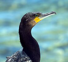 The Great Cormorant Portrait. by Peter Doré