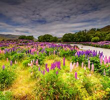 The Lupins in Lindis Pass by Robyn Carter