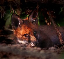 Fox Cub by Tobias King