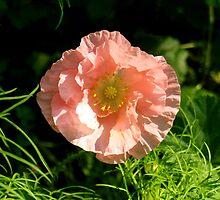 Poppy by WildThingPhotos