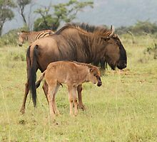 Wildebeest with calf by Michelle Sole
