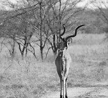Kudu Walk by Michelle Sole