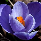 crocus by jude walton
