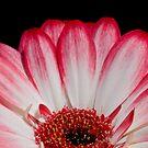 gerba daisy by jude walton