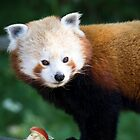 Red Panda (Ailurus Fulgens) by ensell