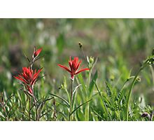 COLORADO INDIAN PAINT BRUSH Photographic Print