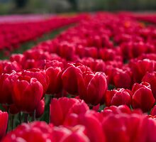 Sea Of Red Tulips by Jordan Blackstone