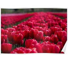 Sea Of Red Tulips Poster
