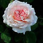 Shrub Rose 'Quietness' by Dency Kane