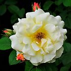 Shrub Rose 'Postillion' by Dency Kane