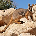 Yellow-footed Rock wallaby by roger smith
