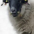 Learned Sheep, Wanlockhead Library, Scotland by simpsonvisuals