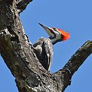 Wacky Woodpeckers! by William Brennan