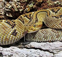 Neo-Tropical Rattlesnake (Crotalus simus) by William Mertz