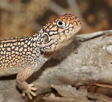 Ctenophorus nuchalis_Owen Springs_NT by tiliqua