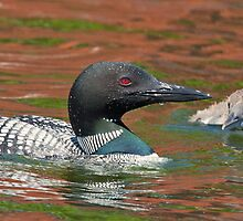 Adult Common Loon and Baby by DigitallyStill
