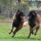 Belgian Tervueren run baby run! by Belgian Shepherd Dog Club of QLD Inc