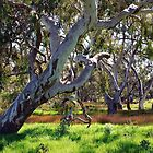 Strong Oz Eucalyptus Tree by Lozzar Landscape
