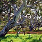 Strong Oz Eucalyptus Tree by Lozzar Landscape