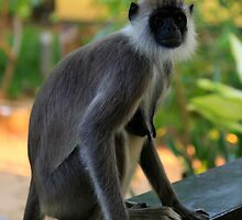 Sri Lankan Cheeky Monkey by Tam Church
